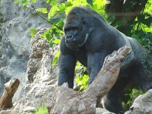 image loro-park-gorilla-jpg